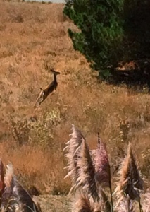A doe leaping to flee.